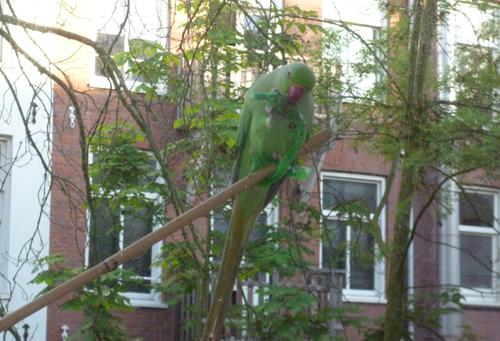 rink neck parakeet.png
