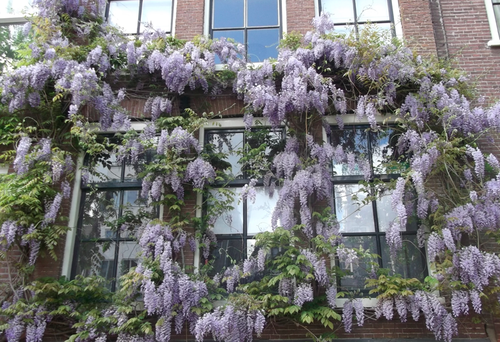 wisteria 2.png