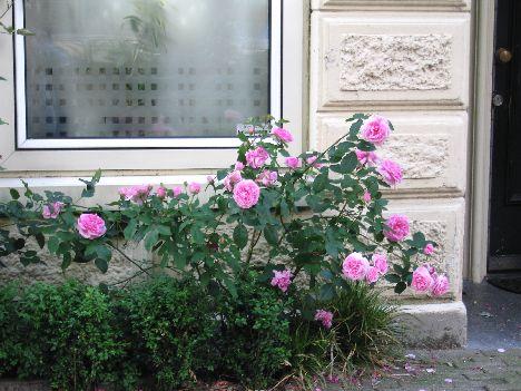 pink%20roses%20in%20Amsterdam.jpg