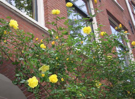 roses%20in%20amsterdam.jpg